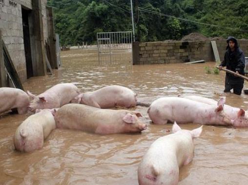 河南876.6千顷农田受灾,养猪场被淹,泡水没死的猪,肉能吃么?