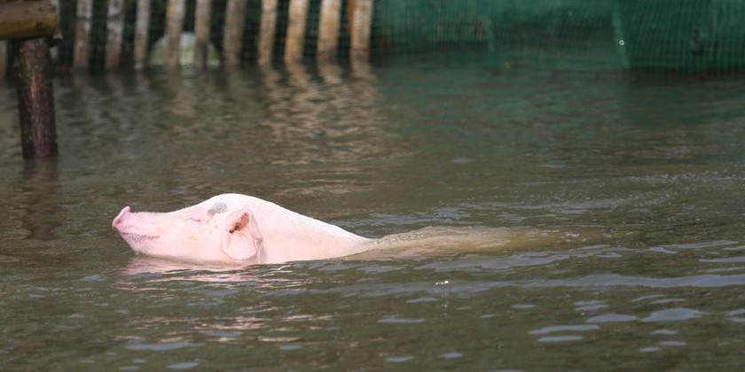 郑州受损养殖场336家,猪价4连跌后,养猪人还能指望过年吗?