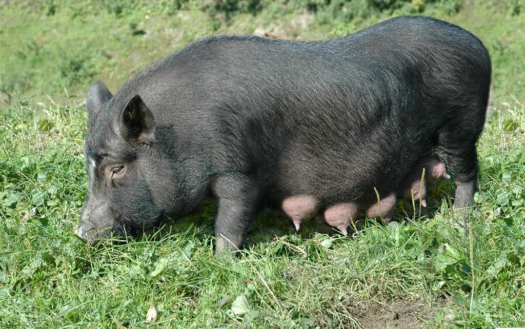 母猪生产前有哪些表现,分娩要注意!这几点告诉你,关键时候起关键作用