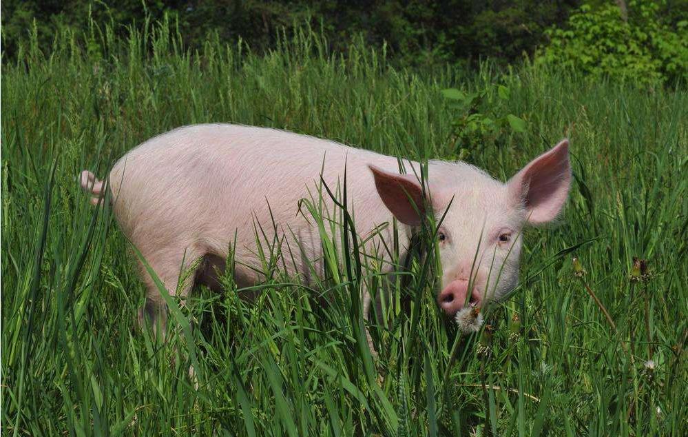 """猪价重回""""二级预警"""",发改委将会同有关部门视情况开展猪肉储备工作,对猪价会有啥影响?养猪人应咋办?"""