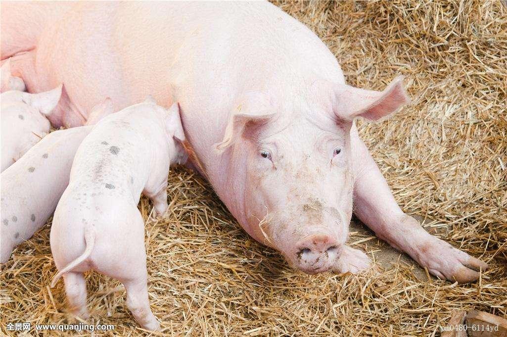 注意!想要提高猪场经济效益一定要关注母猪这个时期!