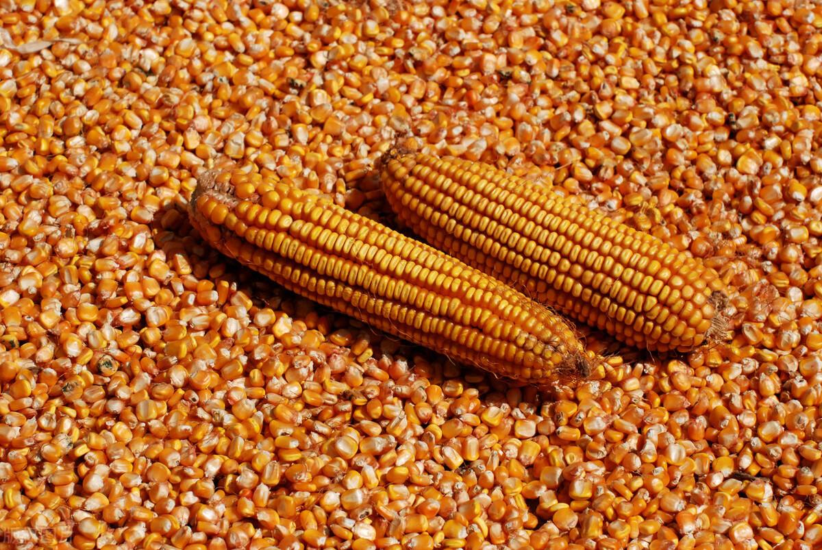 这4个原因促进玉米涨价,并且最高涨100元!而本轮上涨能持续多久?