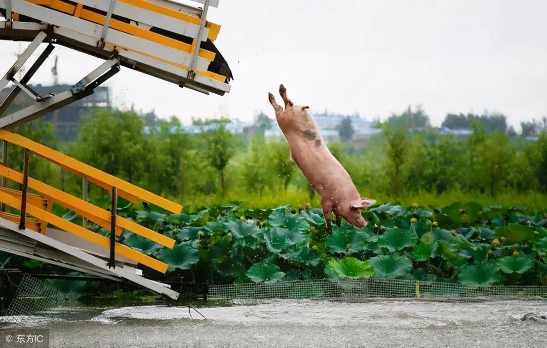 29日15公斤仔猪价格,连跌17周仔猪大跳水,此时补栏年底能赚翻?