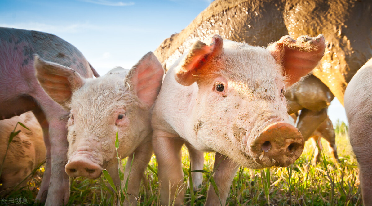 生猪连亏10周,官方发布二级预警,难道8月猪市没救了?国务院召开了会议