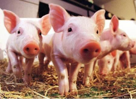 猪脱肛临床症状是什么样?治疗方法是什么?告诉你一个效果奇好的方法1