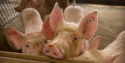 农业农村部:洪涝致1.5万家养殖场户受灾 死亡生猪24.8万头 死亡动物无害化处理