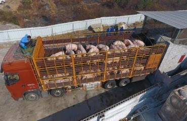 7月30日猪价,国务院三大举措利好养猪业,猪价涨势十足,养殖户:终于熬出头了