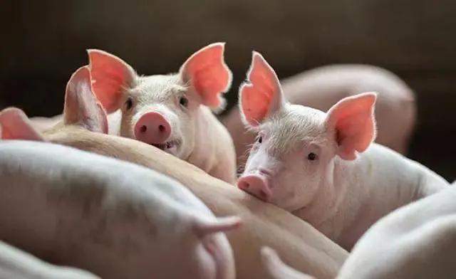 中国养猪业进入长期节本增效时期,养殖主体咬牙坚持,有信心撑过去