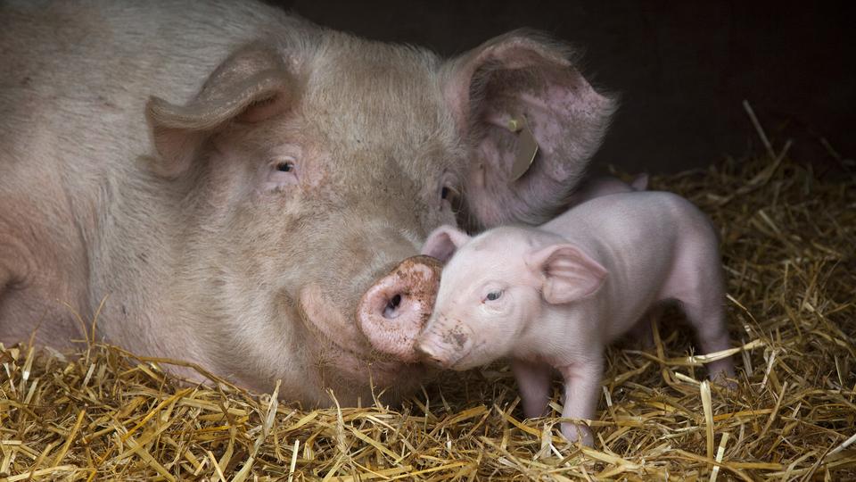 猪场PSY、影响PSY的主要因素及计算方法,如何提高猪场PSY呢?