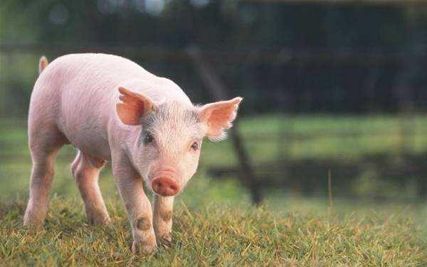 技术控|盛夏季节减少母猪滞产,教你巧用好氯前列烯醇!