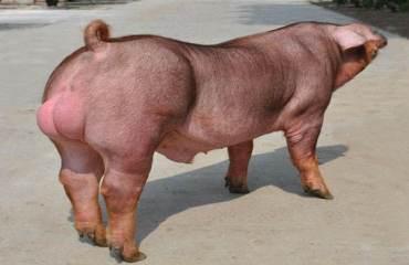 2021年07月31日全国各省市种猪价格报价表,种猪价格未来第四季度是否会有所涨幅?如今种猪价格持续低迷