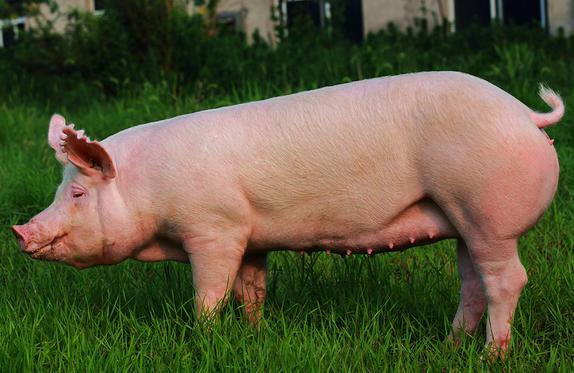3类诊断猪支原体肺炎的方法,第2种明显且适用!