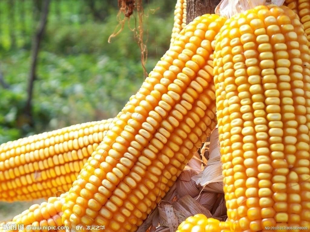 2021年07月31日全国各省市玉米价格行情,今日玉米价格偏强。国产玉米价格走低,而进口玉米成本不断攀升!