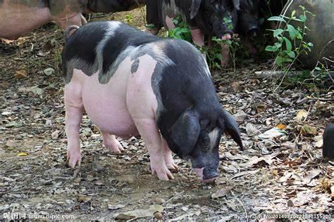2021年07月31日全国各省市土杂猪生猪价格,今日全国土杂猪价格呈现走强趋势,但是涨幅较小