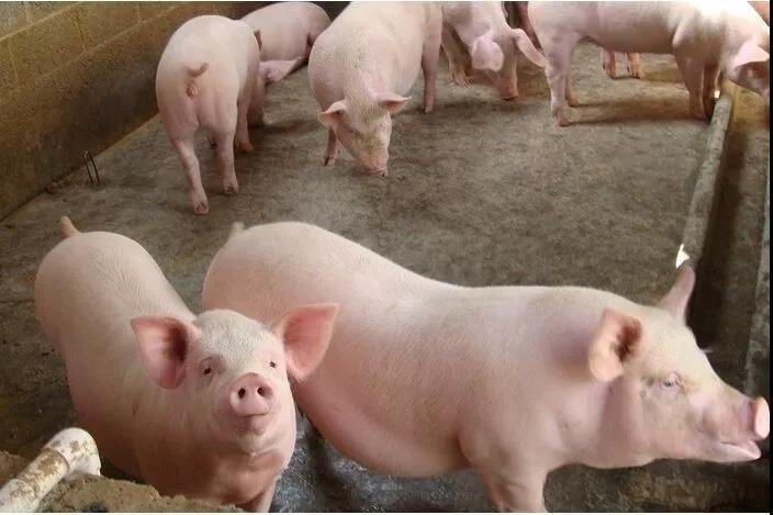 快来!降本增效有诀窍:家庭猪场常见疾病防治!
