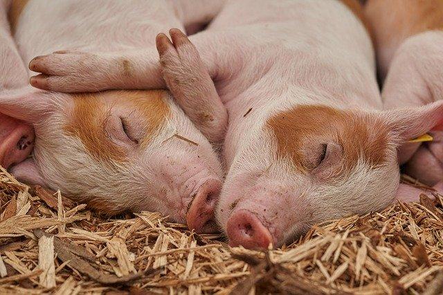 加州新动物福利法生效在即 猪肉价格将迎来新的转机?