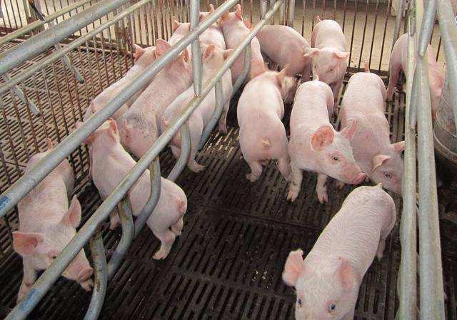 云南广南县多措并举、齐抓共管非法调运生猪及私屠滥宰行为