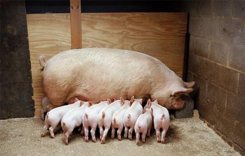 收藏!母猪产后消炎用药配方大全