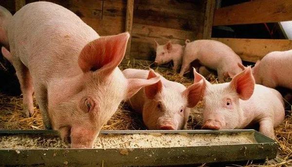 """""""致命""""三问!立秋时期教你如何养猪"""