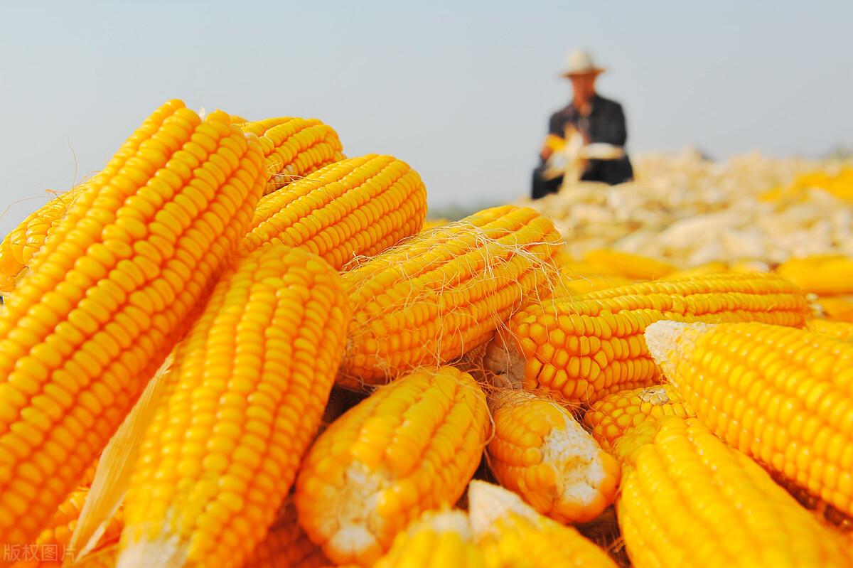 玉米大涨:玉米收购价当日大涨70元每吨!未来3天:雨越下越大!透雨又要来临?
