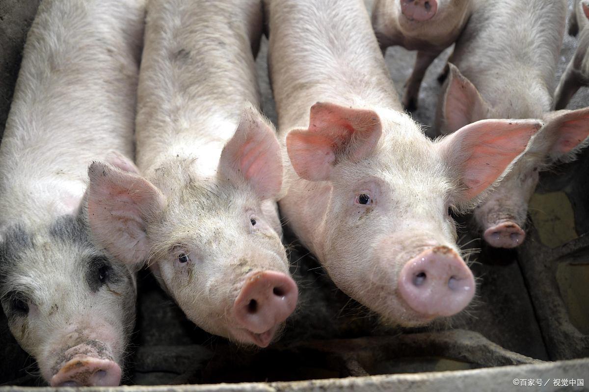 立秋能否带动市场?这三点因素拉低生猪价格!8月中下旬怎样?