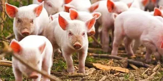 8月9日10公斤仔猪价格:养猪巨头7月深亏!大批仔猪遭抛售,补栏正当时?