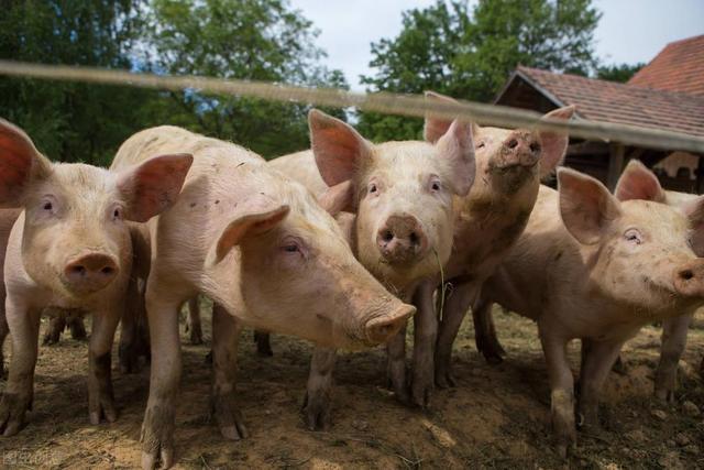 6部委送大礼,猪企注册量下滑31%,8月猪价上涨有戏?