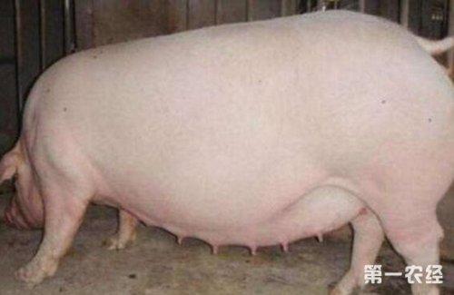 母猪产前1个月就开始攻胎,100%错误!那么又如何正确攻胎呢?