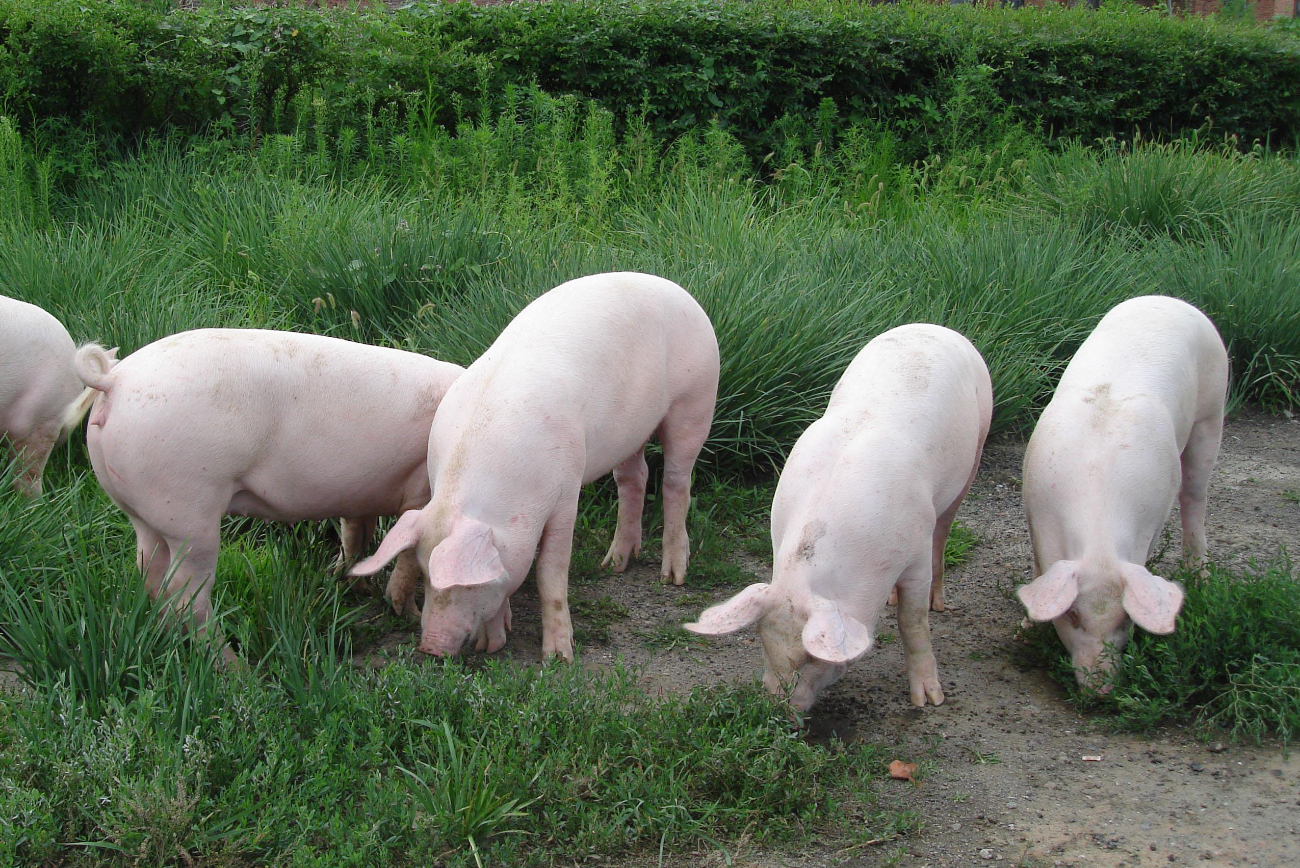 山西上半年生猪出栏546.6万头  存栏681.4万头