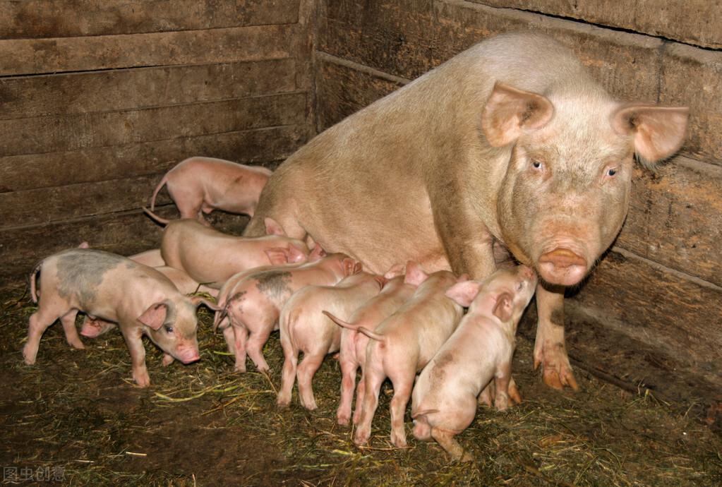 夏季哺乳母猪饲养管理,注意做好以下这几个方面