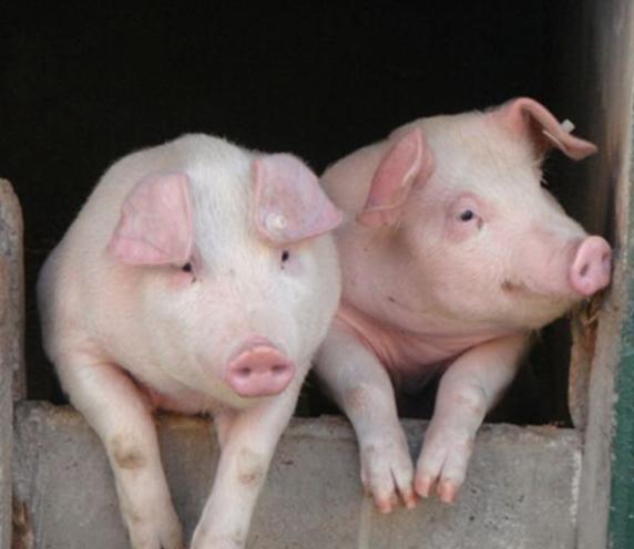 """养猪巨头""""上半场""""惨淡 饲料运费大涨50%!三部门紧急出手 猪肉价格迎久违大涨"""