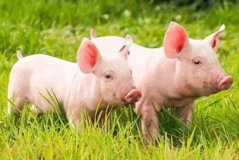 """生猪屠宰出新规,这四个改变一定要知道,就问还有谁敢卖""""问题猪肉""""?"""