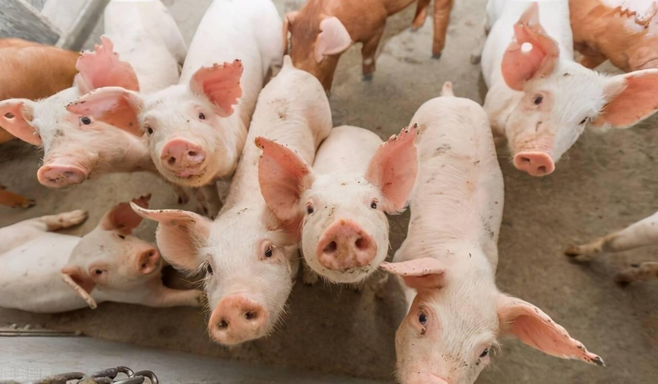 业界预测:未来几个月冷冻猪肉进口量将维持下降趋势