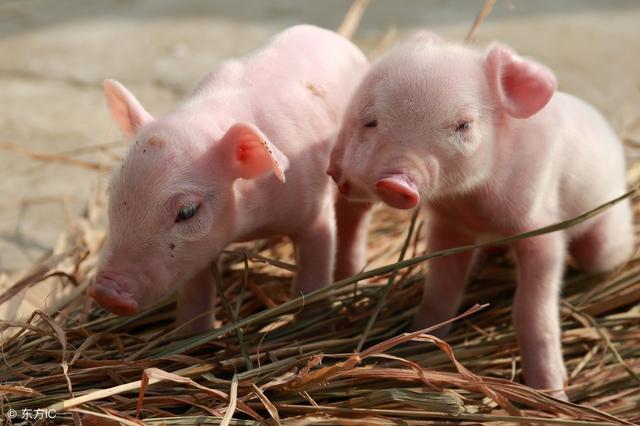 傲农生物涨停收盘,收盘价8.92元!养猪、饲料、动物保健概念热股