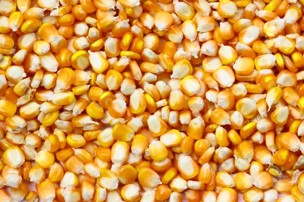 """玉米价格""""上有顶、下有底"""",新季上市或有压力"""