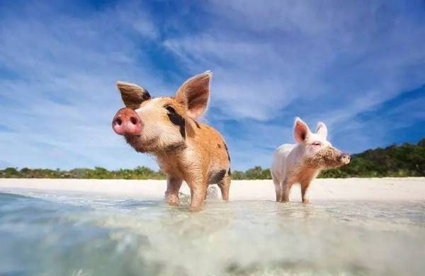 夏季提高母猪配种受胎率并不难,做好这几种措施就可以!