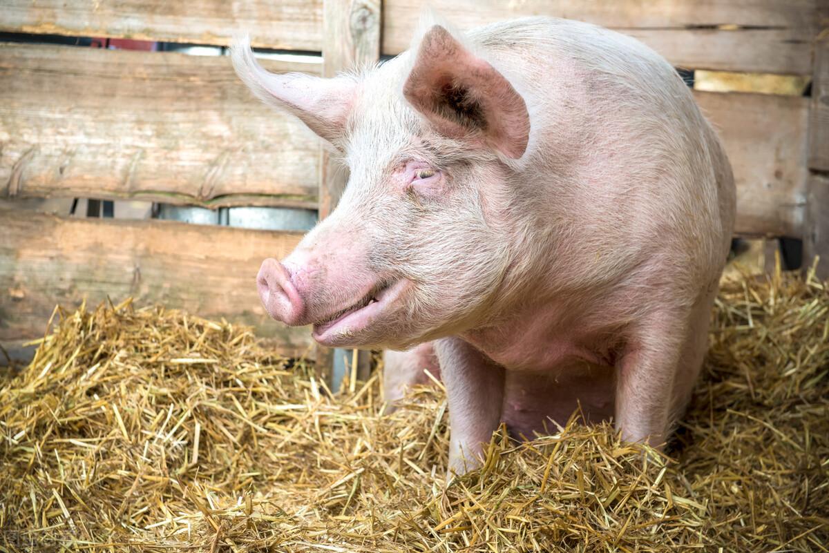你知道猪有5怕吗?这5怕处理好不愁猪养不好