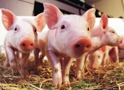 后备母猪是猪场的基础和未来,该如何选育及饲养呢?