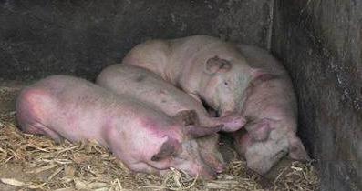 养猪小知识分享:猪缺钙,是最容易被误诊的猪病之一