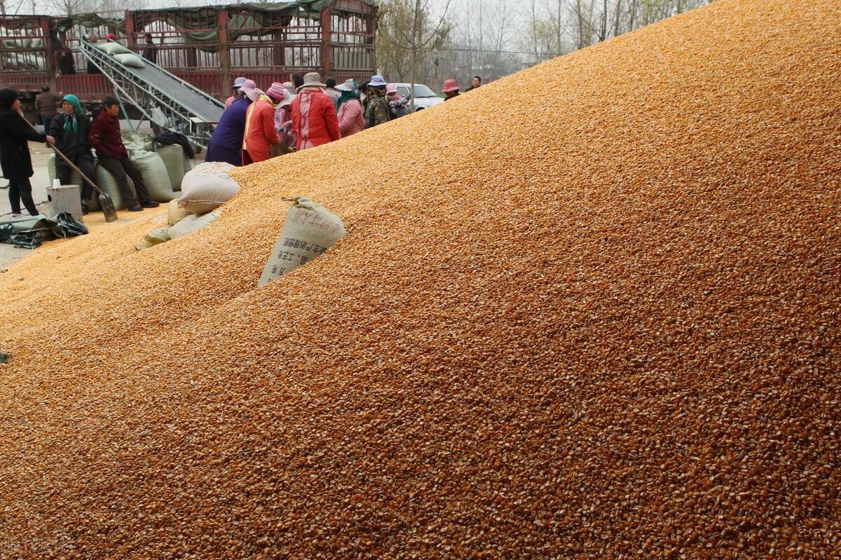 """因为受疫情及天气影响上量受阻,昨日全国玉米整体走势以""""涨""""为主"""
