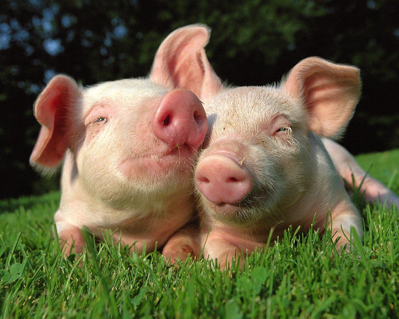 8月15日猪价分析:目前猪价维持上涨条件不稳,猪价预计还会出现波动