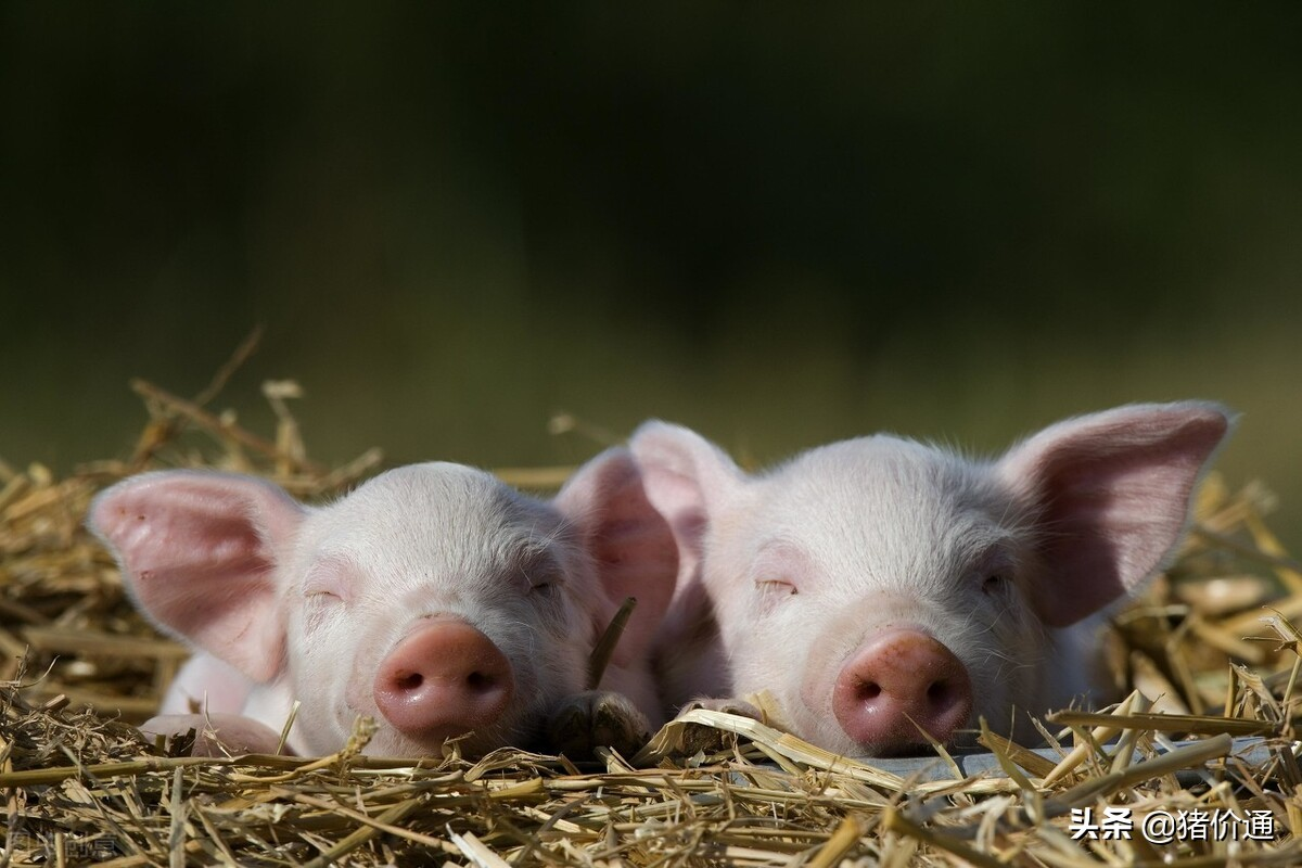 全国南北区加速下跌,为何猪价会跌的如此突然和快速呢?