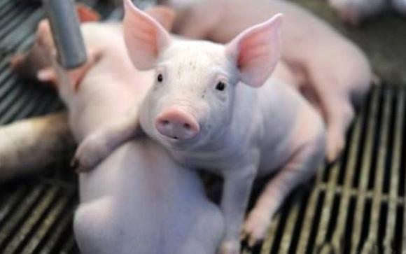 生猪价格再次迎来了集体飘绿的大跌行情,这到底是怎么回事呢?