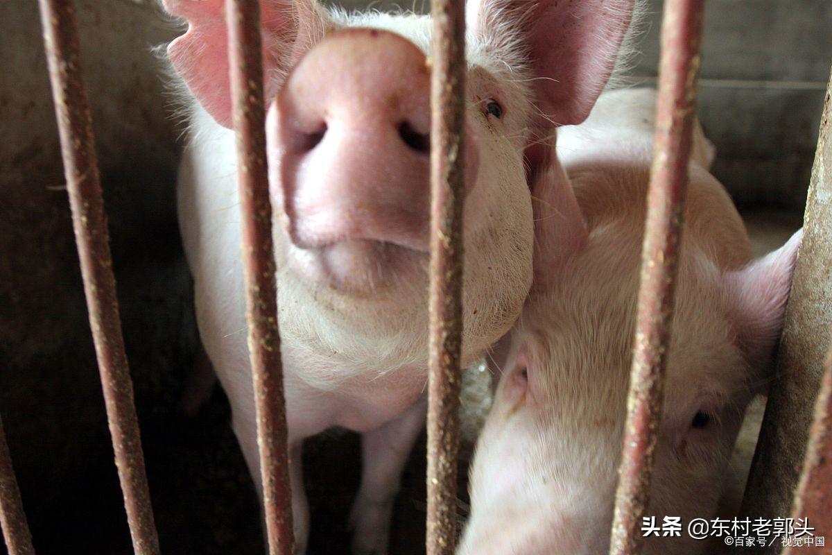 猪价在下跌饲料和防疫的成本却是在不断上涨,生猪养殖户还有活路嘛?