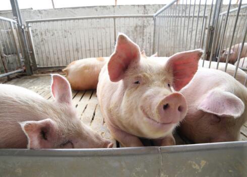 如今生猪价格持续下行,作为养猪户应该如何确保较高利?
