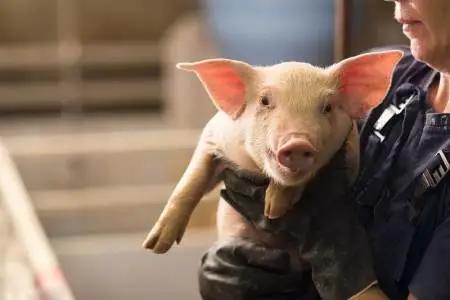 8月16日20公斤仔猪价格:猪价全盘翻红,仔猪市场塌方毫无希望?