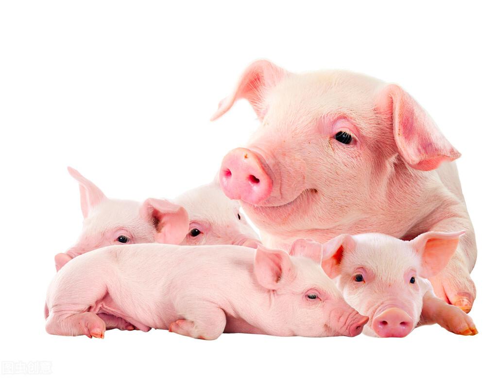 面对小猪弱猪我们该怎么护理?那么弱仔猪又该怎样饲养?别急,我教你