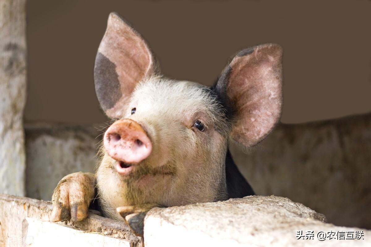 周末两天猪价市场呈现偏强调整态势,是不是猪价上涨潮正式来了?