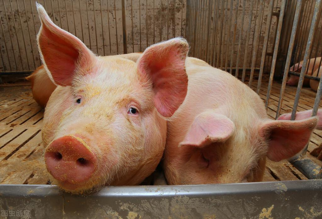 从这三方面入手!猪价低迷期品种改良刻不容缓!