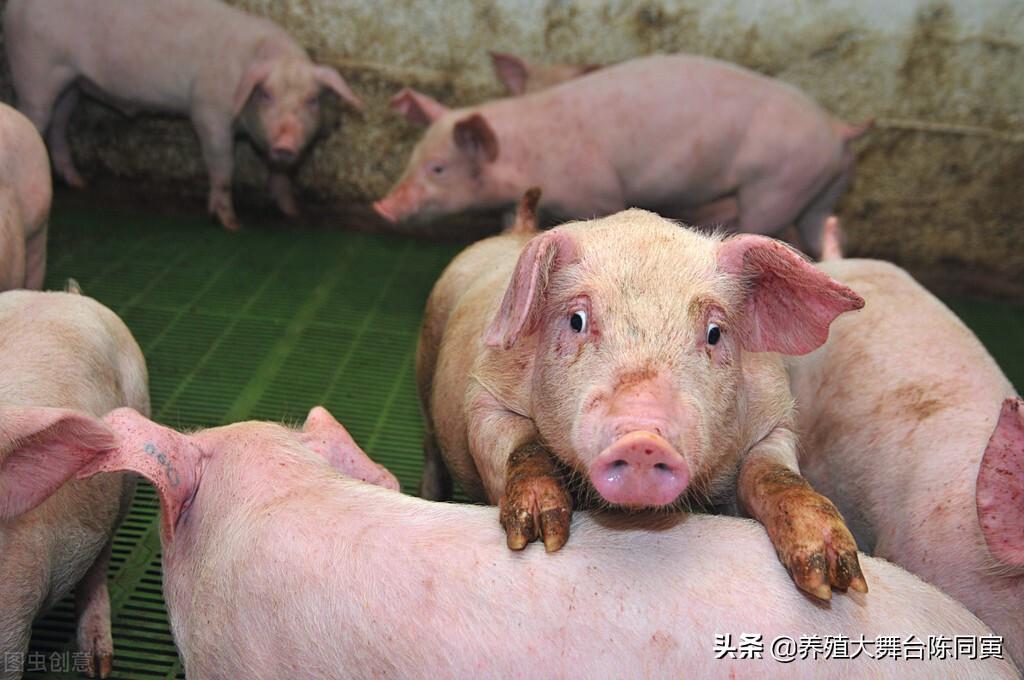 如今生猪价格持续下跌,那么中小养猪场能够胜的过规模猪场吗?